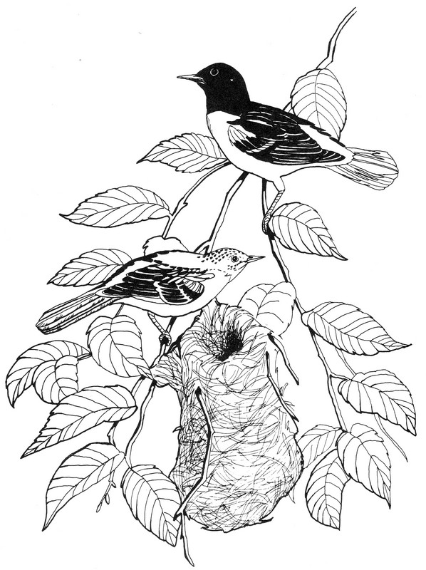 baltimore orioles coloring pages - photo#26