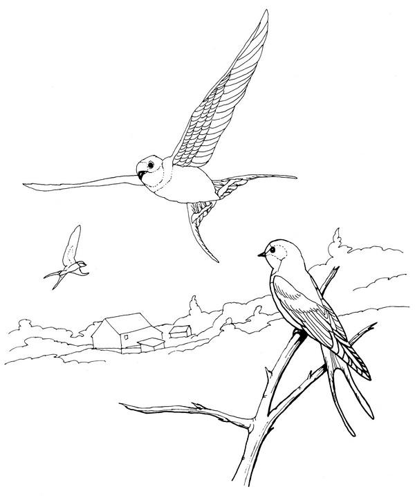CPBD-Barn Swallow-TR.jpg