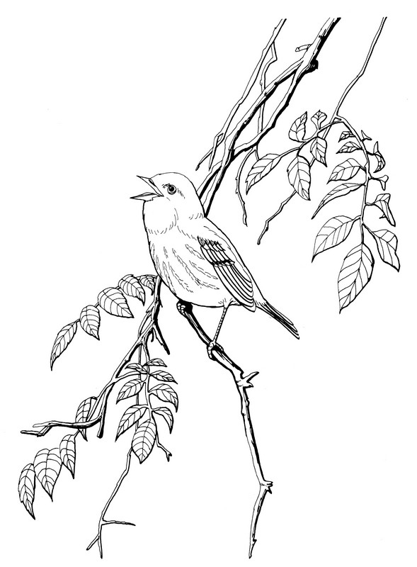 CPBD-Yellow Warbler-TR.jpg