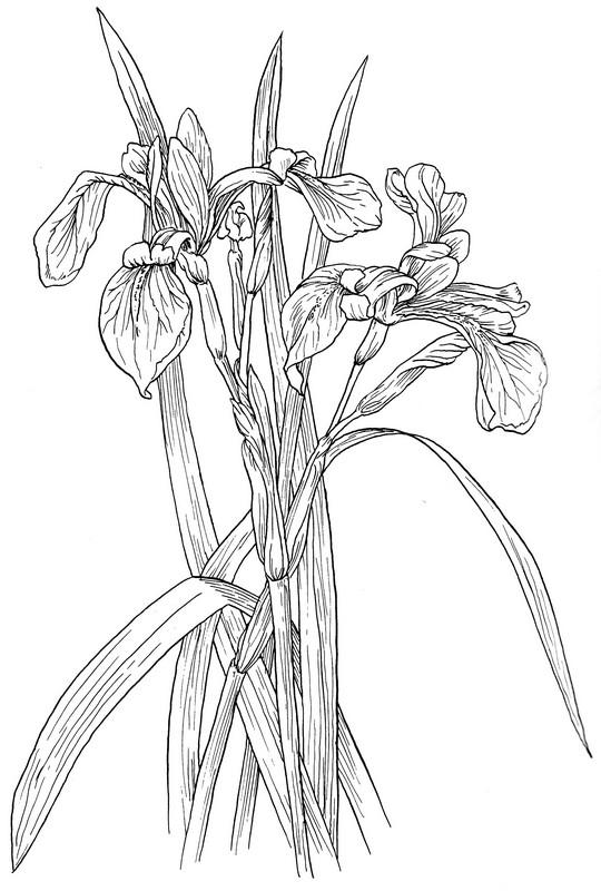 CPFL-Swamp Iris-TR.jpg