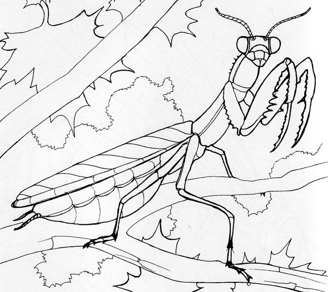 coloring pages of praying mantis | Praying Mantis Coloring Pages - Kidsuki