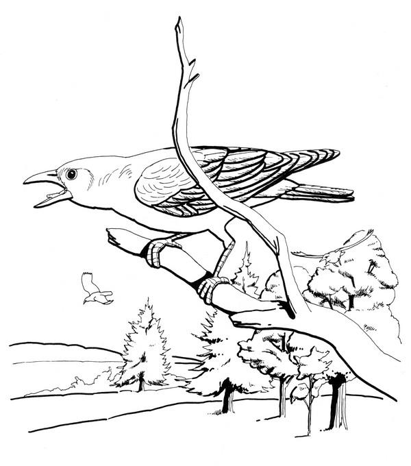 CPBD-Common Crow-TR.jpg