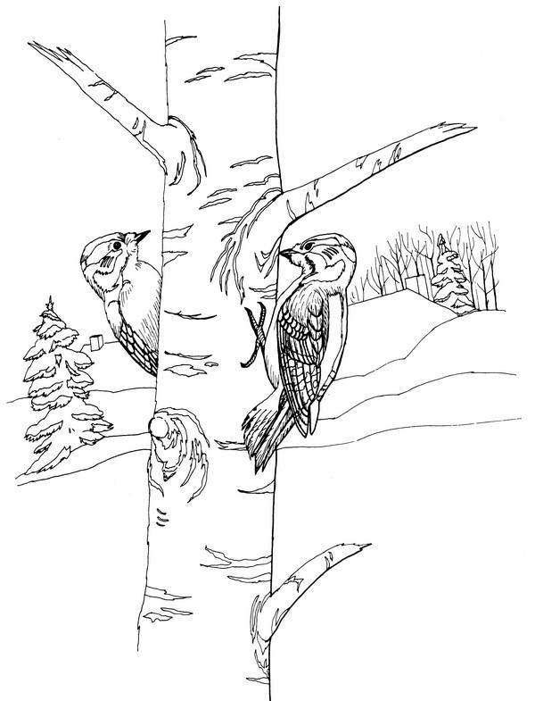 CPBD-Downy Woodpecker-TR.jpg