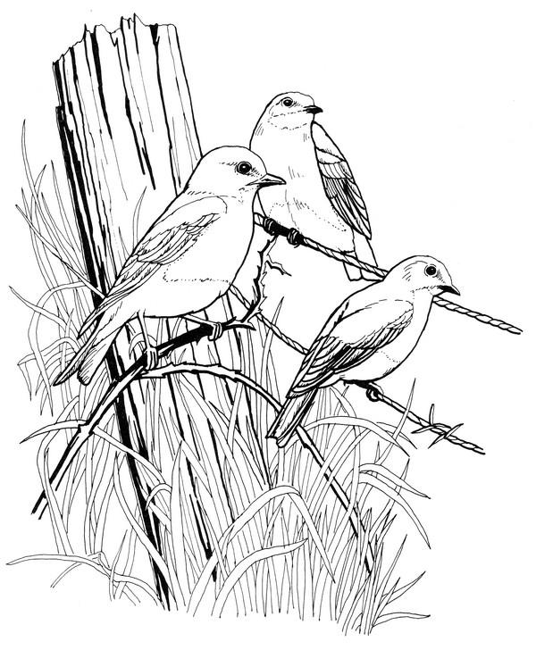CPBD-Eastern Bluebird-TR.jpg