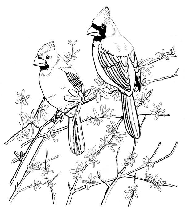 cardinls coloring pages | Cardinal-Coloring Page | CreativeTherapyTools