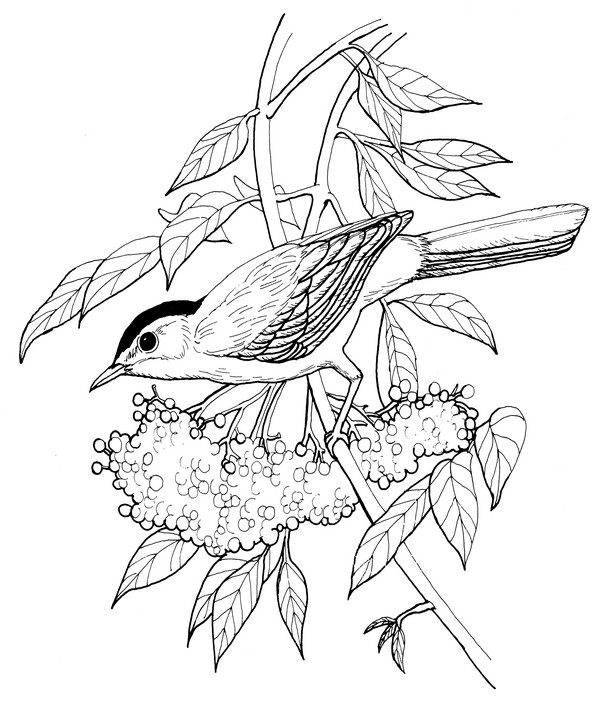 Catbird-Coloring Page
