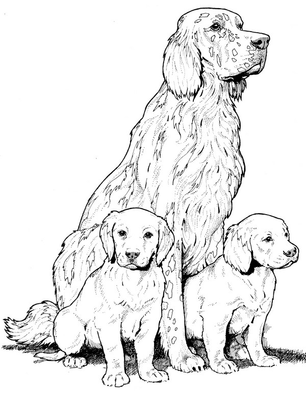 English Setter-Coloring Page