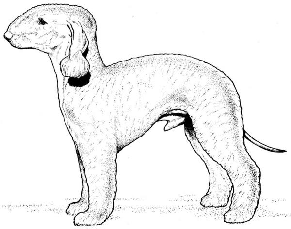 CPDG-Bedlington Terrier-TR.jpg