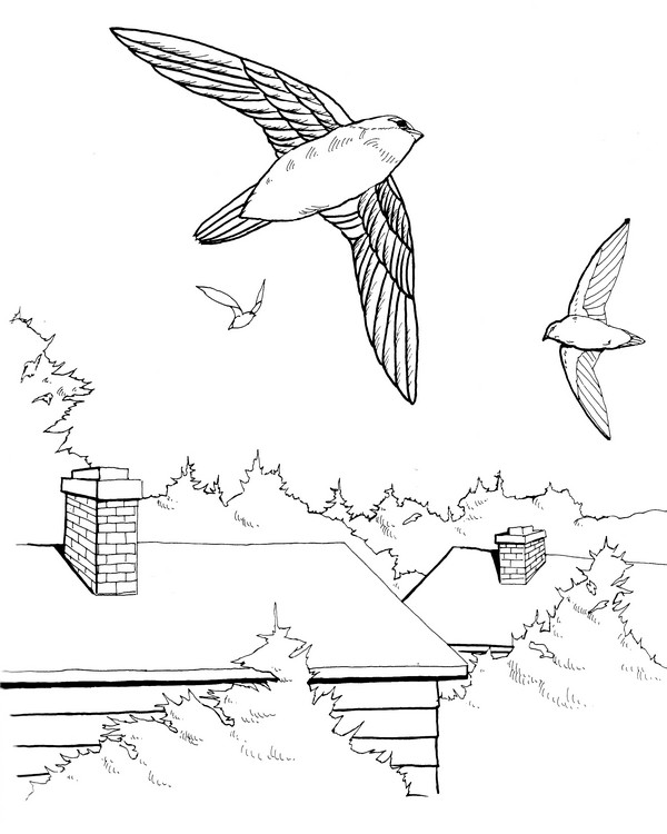 CPBD-Chimney Swift-TR.jpg