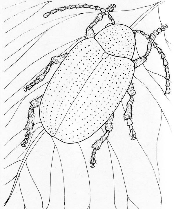 CPIT-Dogbane Leaf Beetle-TR.jpg